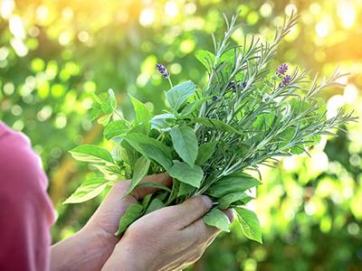 לימודי צמחי מרפא
